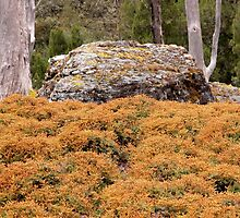 Alpine Coral Fern, Cradle Mountain, Tasmania, Australia. by kaysharp