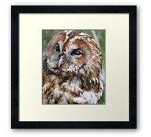 Adult Tawny Owl Framed Print