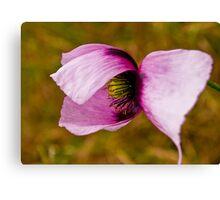 Opium poppy -PAPAVER SOMNIFERUM Canvas Print