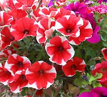 Red and White Petunias by MidnightMelody