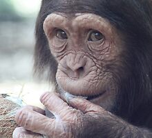 Chimpanzee & the Coconut by sjmphotos