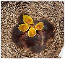 Baby Mockingbirds  Poster