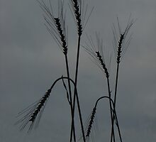 Strong Wheat by Al Bourassa
