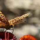 Butterfly by SpiritFox