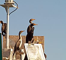 Cormorants at Marker 5 by Memaa