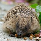 Hedgehog NZ by AndreaEL