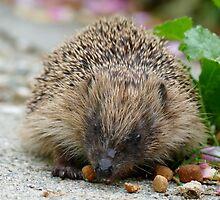 Hedgehog NZ by AndreaEL