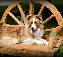 My Chair - Border Collie - NZ by AndreaEL