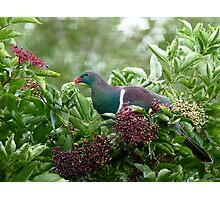 I Prefer The Elder Berries - Wood Pigeon - NZ Photographic Print