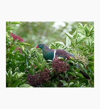 I Prefer The Elder Berries - Wood Pigeon - NZ Photographic Print