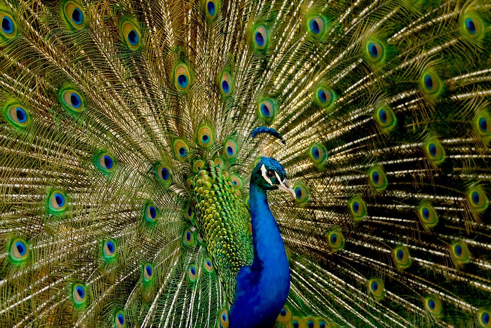 Peacock Eyes by Keegan Wong