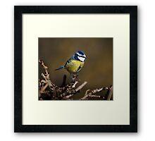 Blue tit (Cyanistes caeruleus) Framed Print