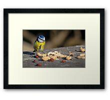Blue tit feeding Framed Print