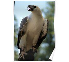 sea eagle Poster