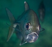 Big-eye Trevally by Ross Gudgeon