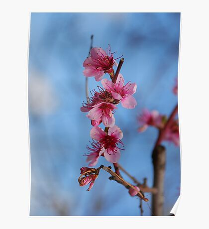 Fruit Tree With Pink Blossom Poster