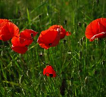 Wild Red Poppies  by jojobob