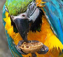 Macaw & the Walnut by sjmphotos