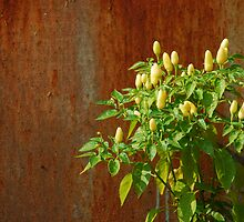Chilli Plants Against Rusted Metal Door  by jojobob