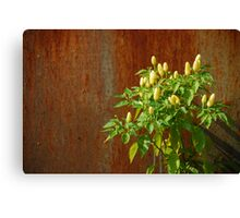 Chilli Plants Against Rusted Metal Door  Canvas Print