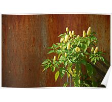Chilli Plants Against Rusted Metal Door  Poster