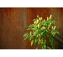 Chilli Plants Against Rusted Metal Door  Photographic Print