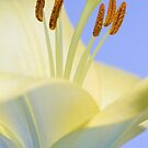 Lily Stamens  by DIANE  FIFIELD