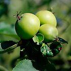 Green Apples on a Tree  by jojobob