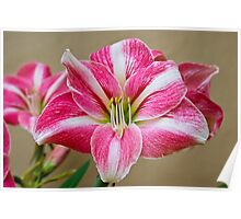 Potted Pink & White Lily Poster