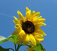 Sunflower  by SpiritFox