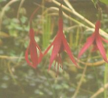 fuschias by sam deakin