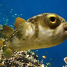 PORCUPINE FISH by Michael Sheridan