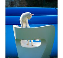 White Cat on Chair  Photographic Print