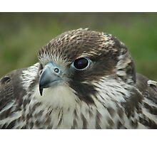 Sadie the Pere-Saker Falcon Photographic Print