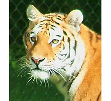 Tigers Head Photographic Print