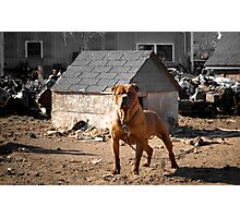 Junk Yard Dog Photographic Print