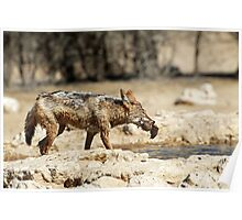 Jackal with Sandgrouse prey  Poster