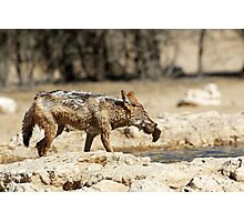 Jackal with Sandgrouse prey  Photographic Print