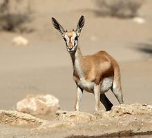 Curious young Springbok by Christa Knijff