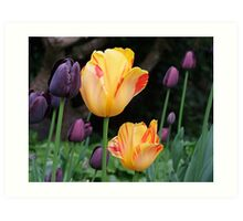 Beautiful Tulips Art Print
