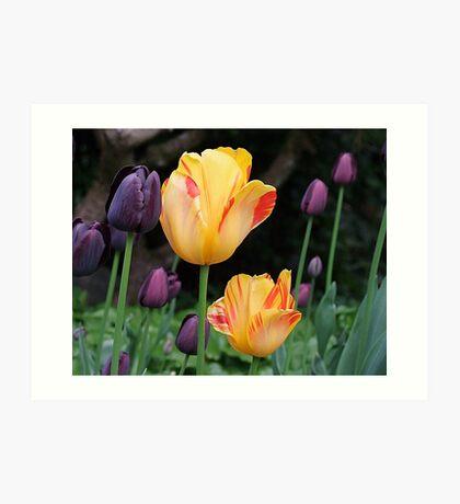 Beautiful Tulips Art Print