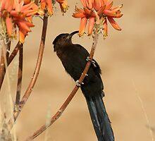 Nectar eating Amethyst Sunbird by Christa Knijff