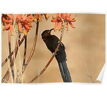 Nectar eating Amethyst Sunbird Poster