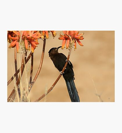 Nectar eating Amethyst Sunbird Photographic Print