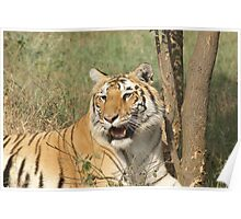A fierce tiger gazing at you Poster
