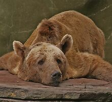 Lazy Bear  by FASImages