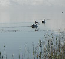 Pelicans on Lake Alexandrina by kayinga