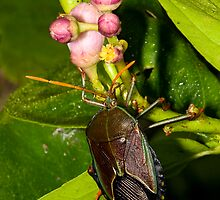 Shield Bug by Richard  Windeyer