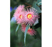 pink eucalypt Photographic Print
