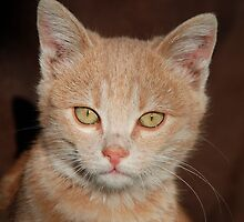 Ginger Tabby Kitten  by jojobob